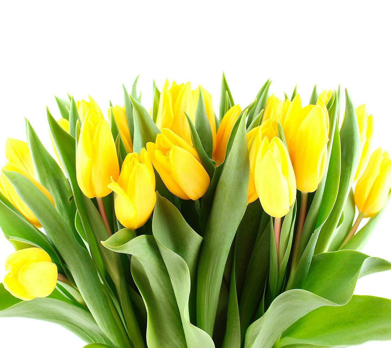 cvety-rasteniya-tyulpany-32091.jpg